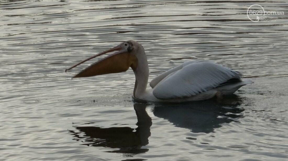 Одинокий мариупольский пеликан ищет невесту (Дополнено, новые красивые ФОТО), фото-13