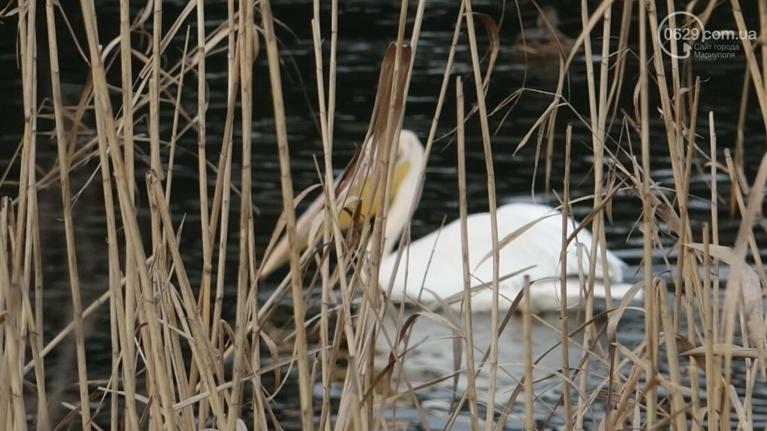 Одинокий мариупольский пеликан ищет невесту (Дополнено, новые красивые ФОТО), фото-14