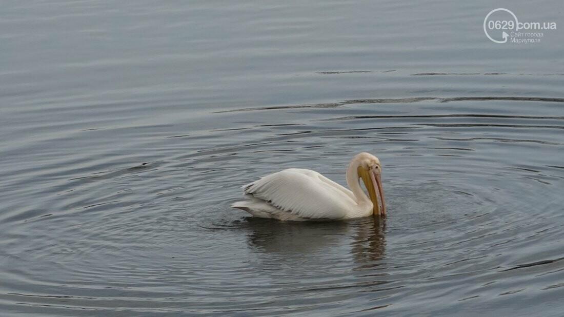 Одинокий мариупольский пеликан ищет невесту (Дополнено, новые красивые ФОТО), фото-5