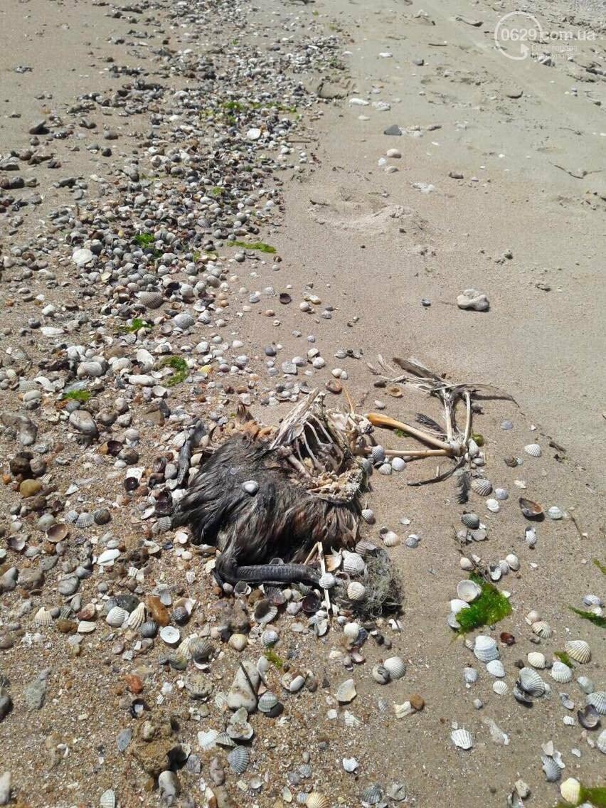 На Песчаном пляже в Мариуполе лежат десятки мертвых птиц (Фотофакт, ВИДЕО), фото-6
