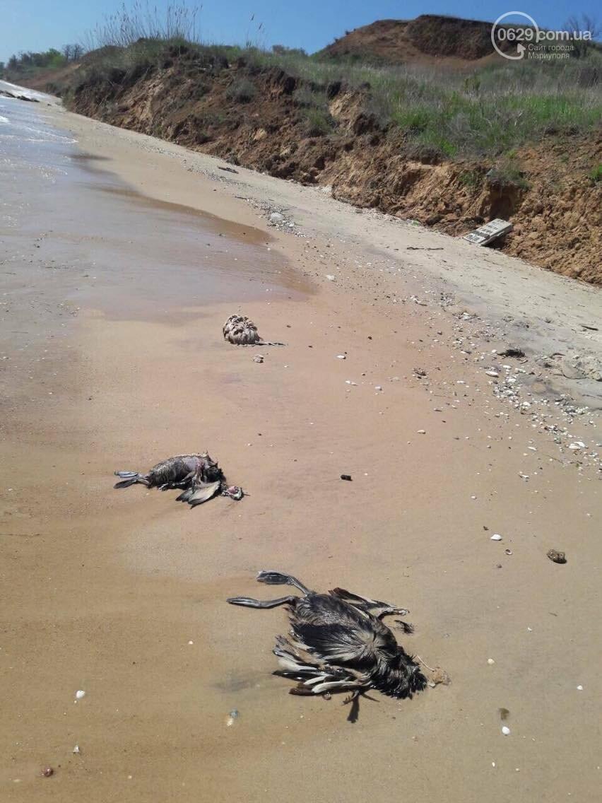На Песчаном пляже в Мариуполе лежат десятки мертвых птиц (Фотофакт, ВИДЕО), фото-4