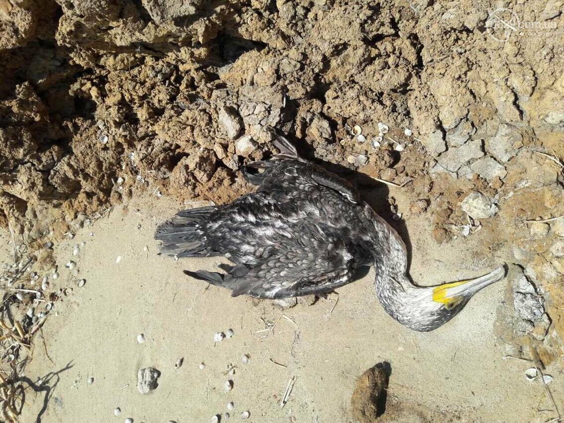 На Песчаном пляже в Мариуполе лежат десятки мертвых птиц (Фотофакт, ВИДЕО), фото-2