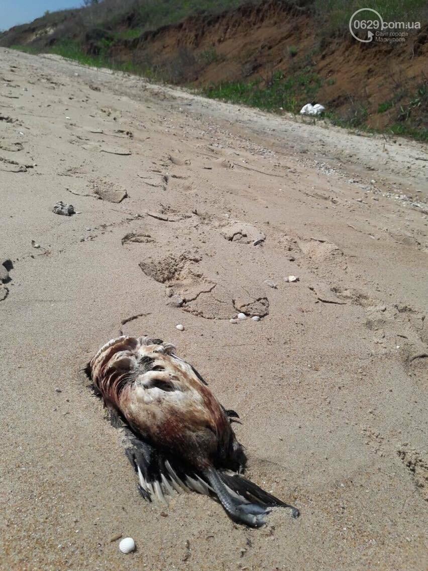 На Песчаном пляже в Мариуполе лежат десятки мертвых птиц (Фотофакт, ВИДЕО), фото-1