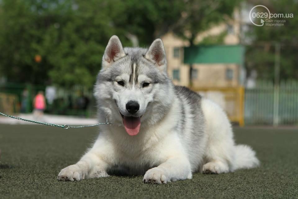 В Мариуполе лучшими собаками выставки стали немецкая овчарка и хаски (ФОТОРЕПОРТАЖ), фото-1