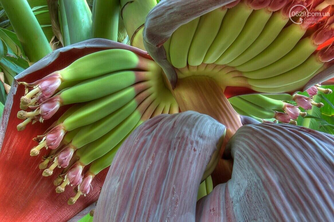 Растут ли в Мариуполе бананы?, фото-2