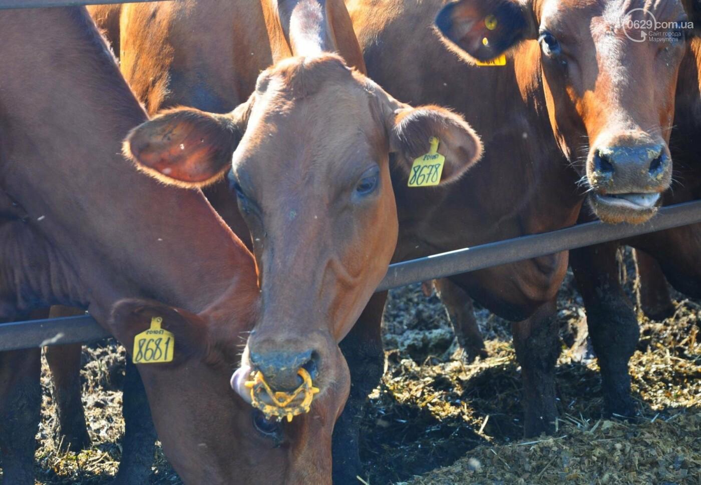 Откуда Мариупольский молокозавод получает натуральное молоко?, фото-4