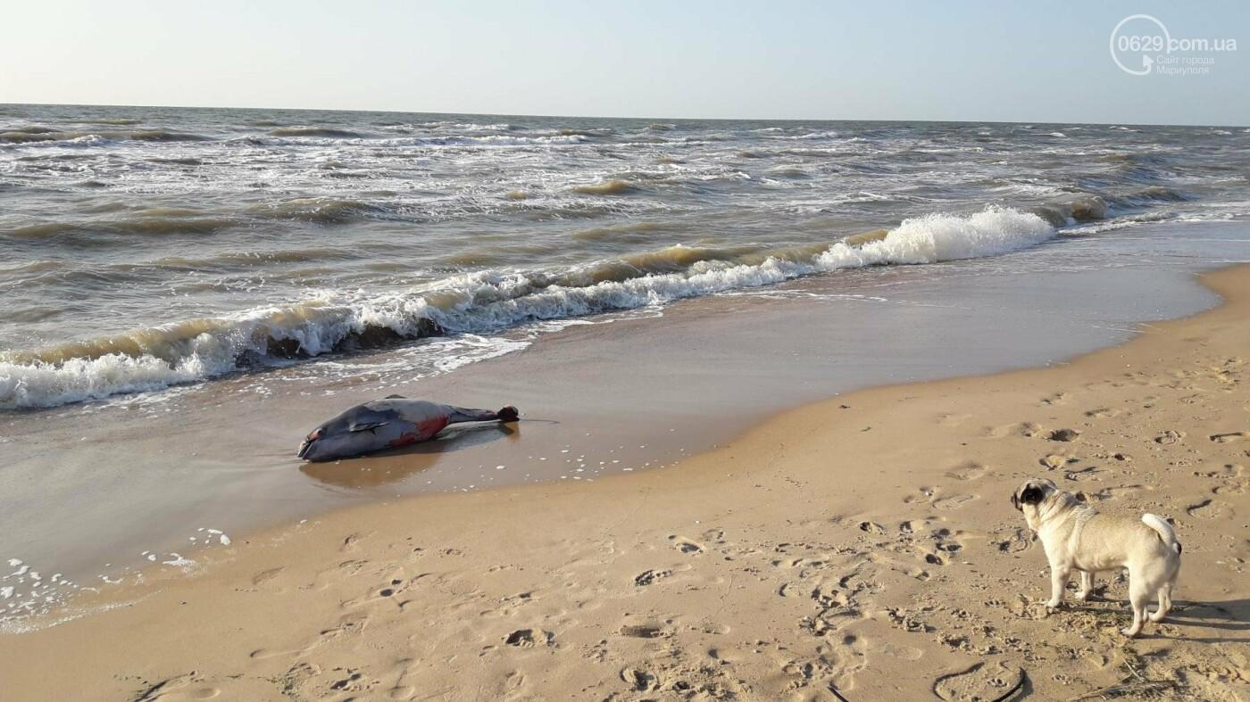 В Мелекино на пляже обнаружили мертвого дельфина, - ФОТОФАКТ, фото-1