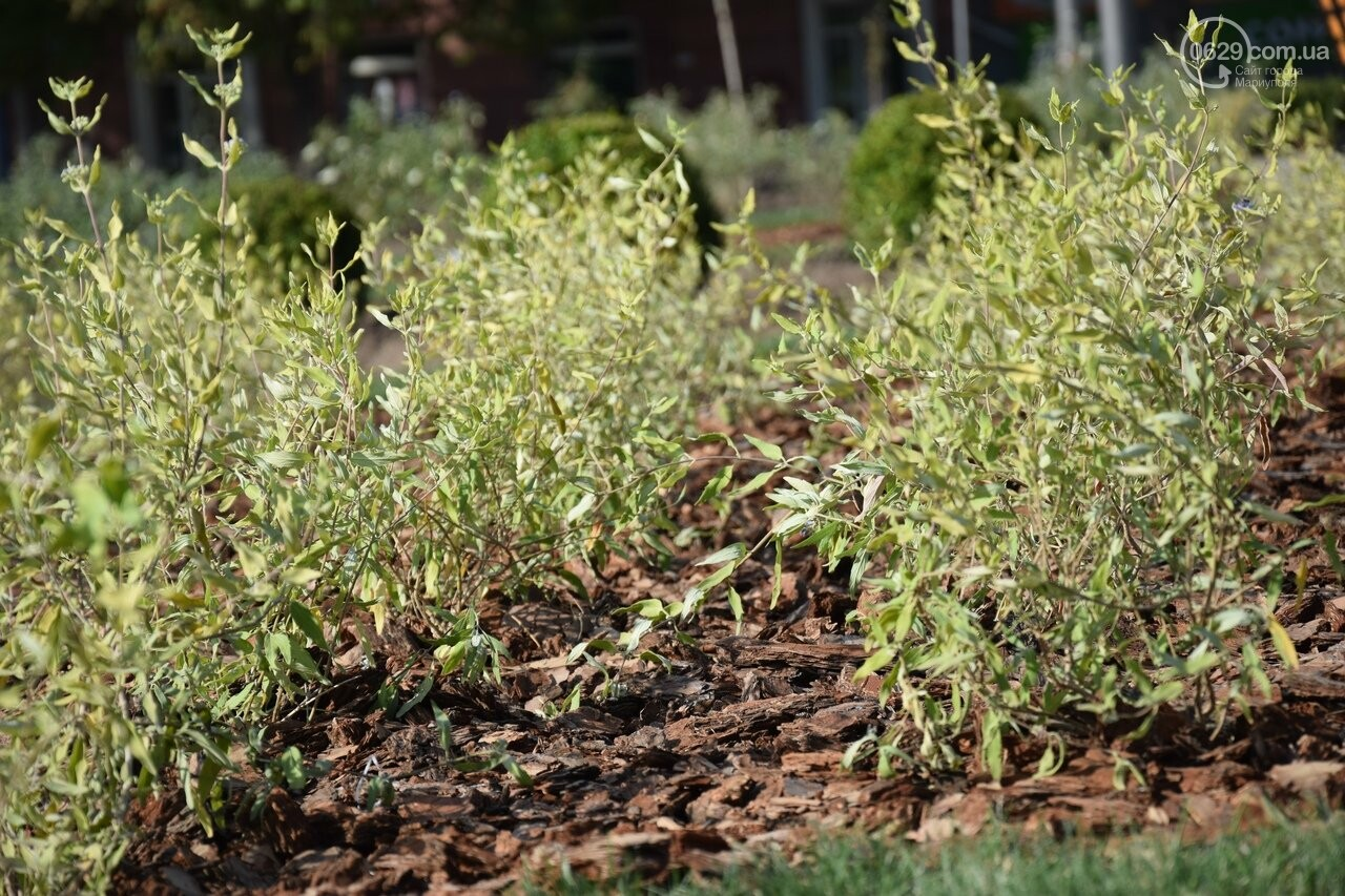 На Греческой площади в Мариуполе засыхают кустарники, но зазеленел газон, - ФОТОРЕПОРТАЖ, ВИДЕО, фото-56