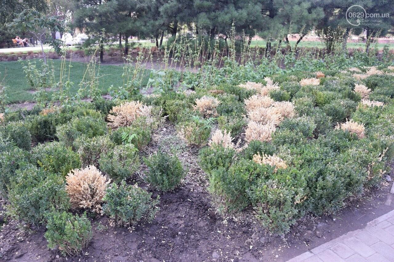 На Греческой площади в Мариуполе засыхают кустарники, но зазеленел газон, - ФОТОРЕПОРТАЖ, ВИДЕО, фото-26