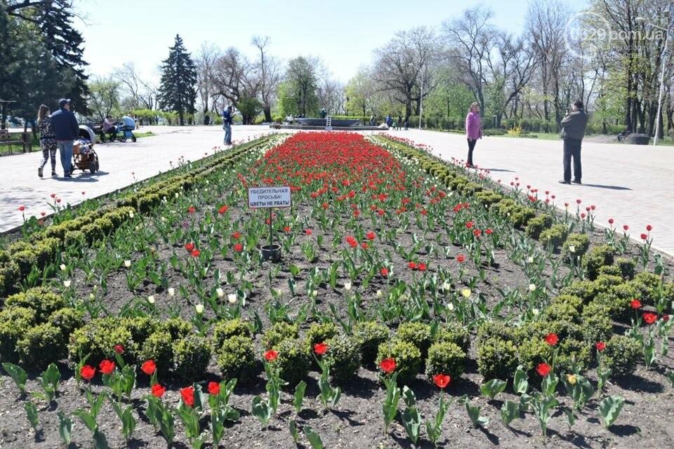 """В мариупольском Городском саду """"вымирают"""" тюльпаны, - ФОТО, ВИДЕО, фото-6"""