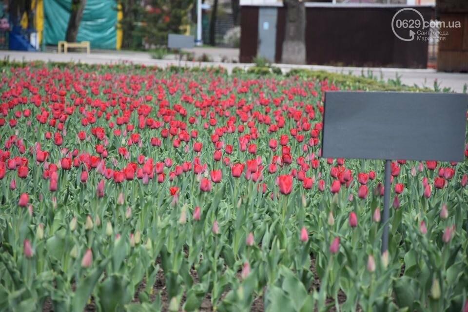 """В мариупольском Городском саду """"вымирают"""" тюльпаны, - ФОТО, ВИДЕО, фото-9"""
