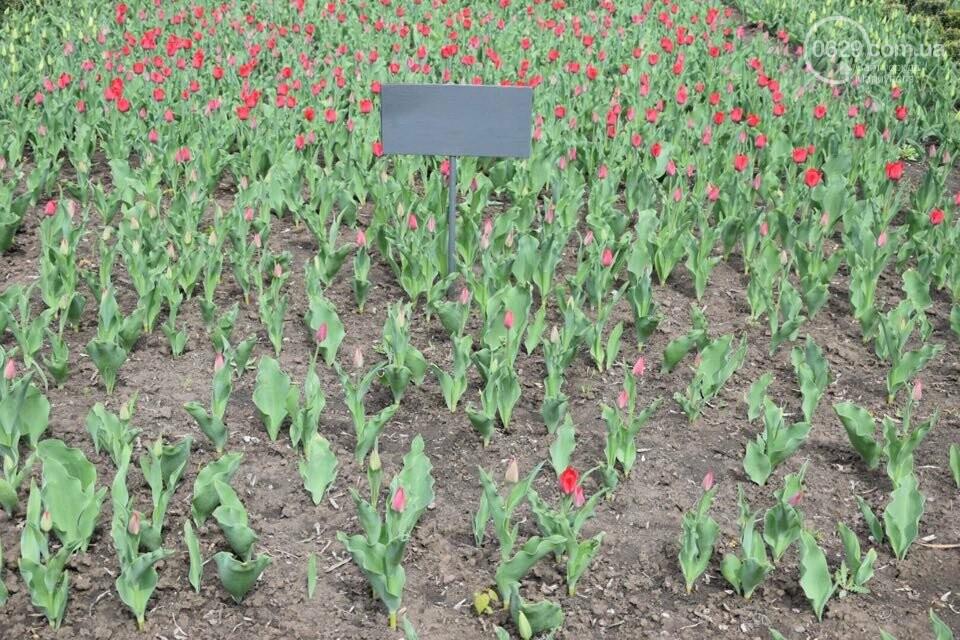 """В мариупольском Городском саду """"вымирают"""" тюльпаны, - ФОТО, ВИДЕО, фото-10"""