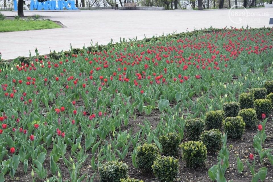 """В мариупольском Городском саду """"вымирают"""" тюльпаны, - ФОТО, ВИДЕО, фото-12"""