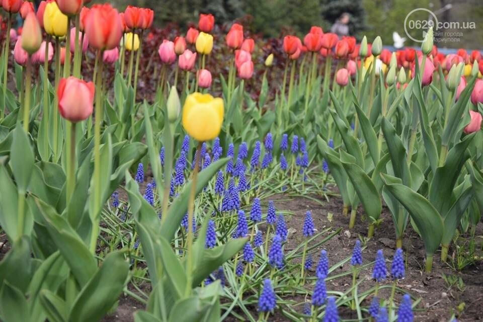 """В мариупольском Городском саду """"вымирают"""" тюльпаны, - ФОТО, ВИДЕО, фото-17"""