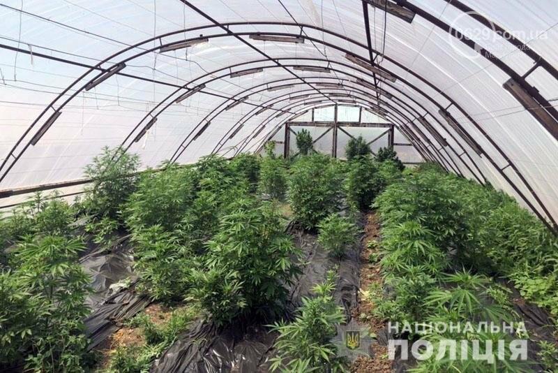В Мариуполе сартанец выращивал элитную коноплю в теплицах, - ФОТО, фото-1
