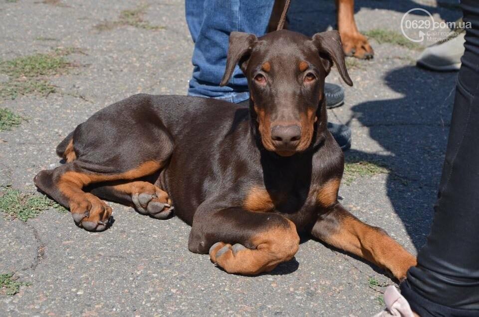 В Мариуполе фокстерьер Щаслав стал самой красивой собакой, а шпиц Диор – самой послушной, - ФОТОРЕПОРТАЖ, фото-3