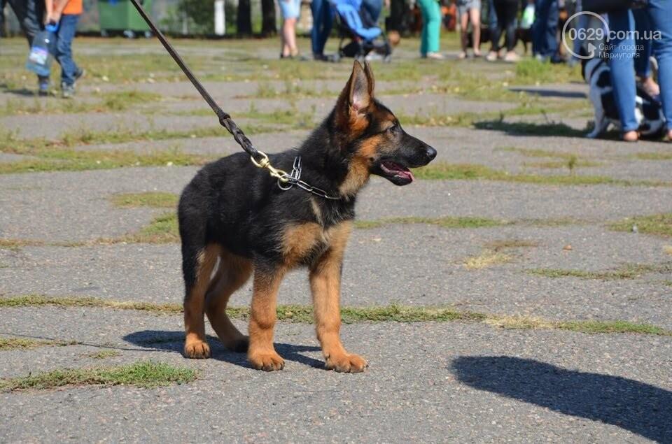 В Мариуполе фокстерьер Щаслав стал самой красивой собакой, а шпиц Диор – самой послушной, - ФОТОРЕПОРТАЖ, фото-11