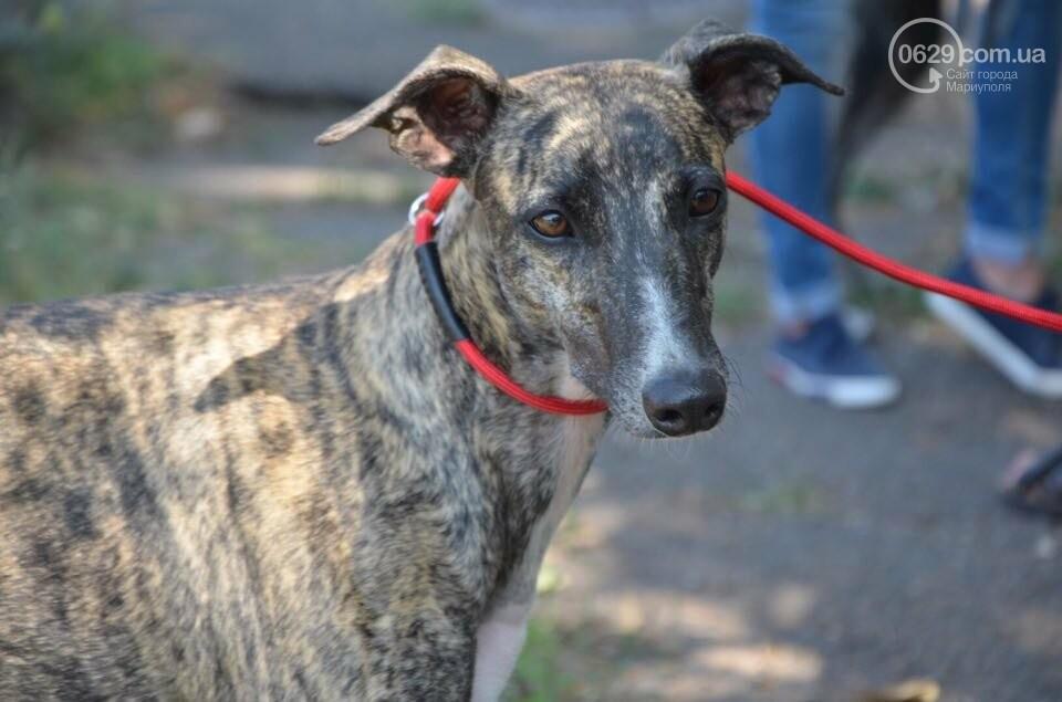 В Мариуполе фокстерьер Щаслав стал самой красивой собакой, а шпиц Диор – самой послушной, - ФОТОРЕПОРТАЖ, фото-7