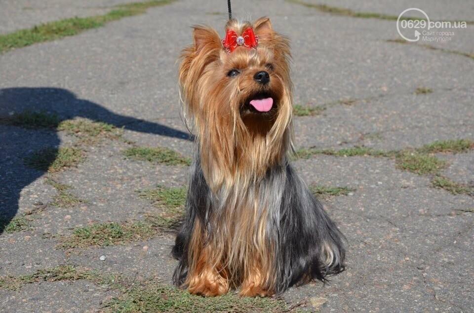 В Мариуполе фокстерьер Щаслав стал самой красивой собакой, а шпиц Диор – самой послушной, - ФОТОРЕПОРТАЖ, фото-13