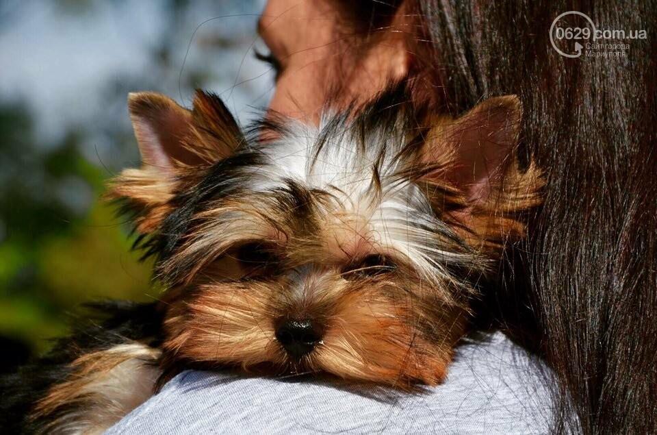 В Мариуполе фокстерьер Щаслав стал самой красивой собакой, а шпиц Диор – самой послушной, - ФОТОРЕПОРТАЖ, фото-2