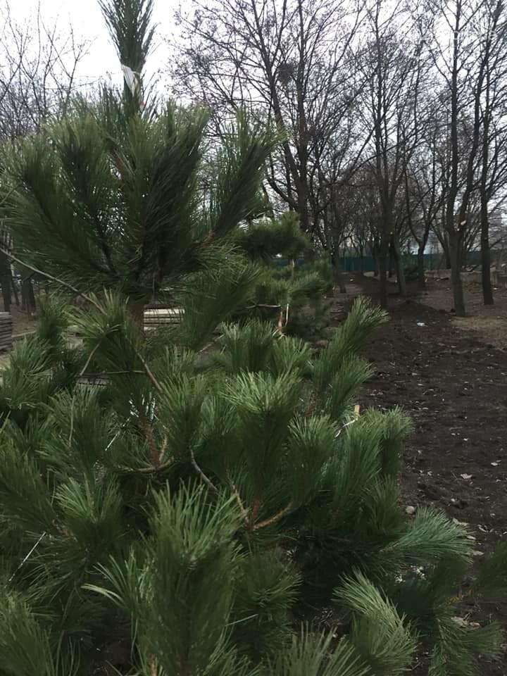 Какие деревья пойдут под снос при реконструкции сквера возле площади Свободы,- ФОТО, фото-15
