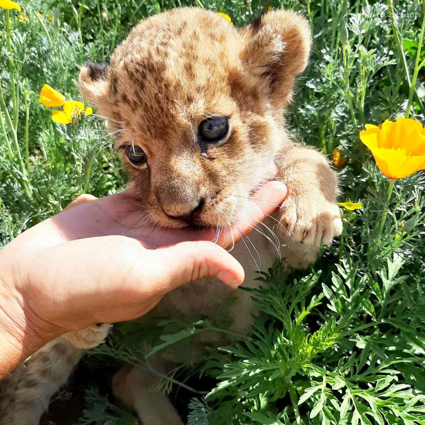 У маленькой львицы из мариупольского зоопарка отказали почки, - ФОТО, фото-1