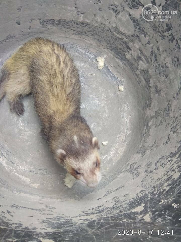 Хорек по имени Твикс. Как пропал и нашелся в Мариуполе необычный зверь, - ФОТО, фото-1