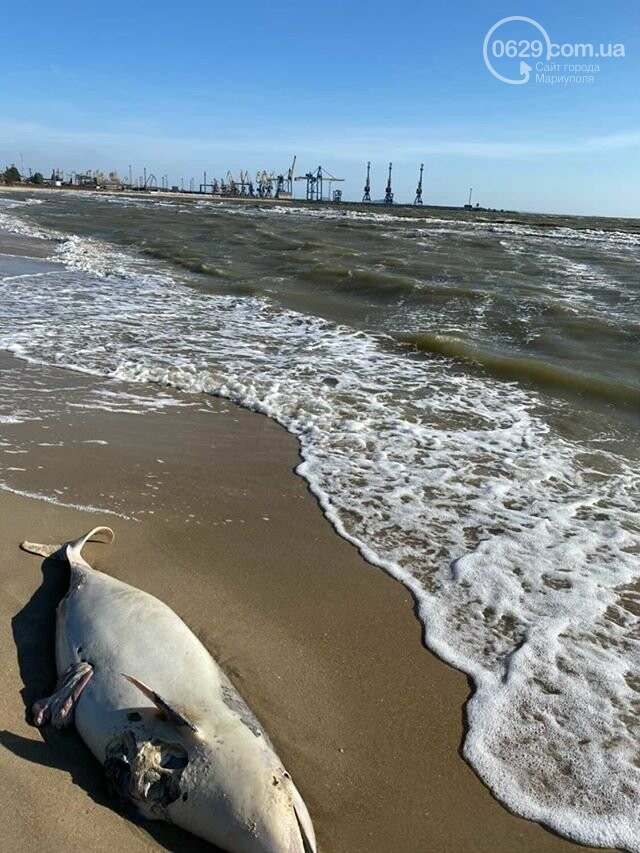 На пляже в Мариуполе нашли мертвого дельфина, - ФОТО, фото-1