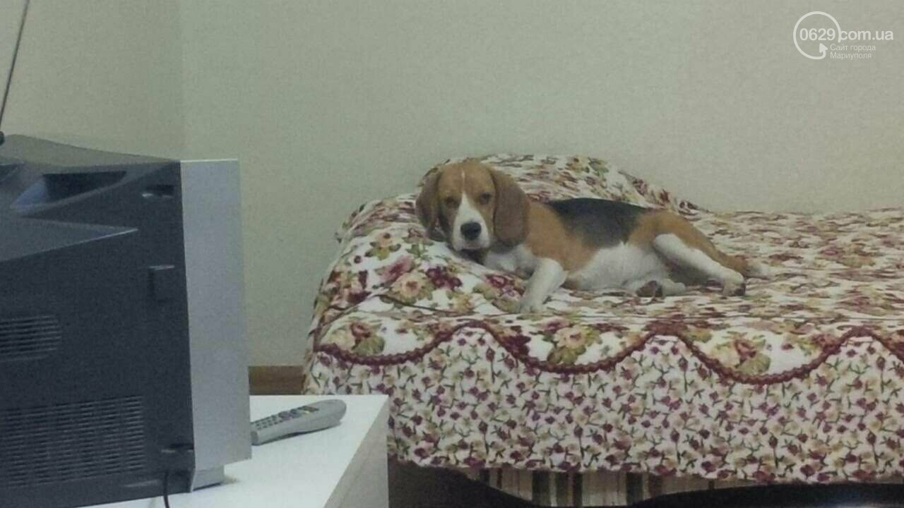 4-й день поисков беременной собаки. Сотни мариупольцев ищут пропавшего бигля, - ФОТО, фото-3