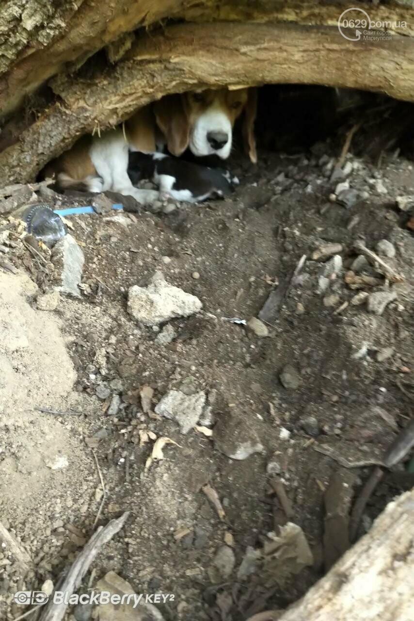 Беглянка найдена! Мариуполец обнаружил пропавшего бигля со щенками в балке, - ФОТО, фото-3