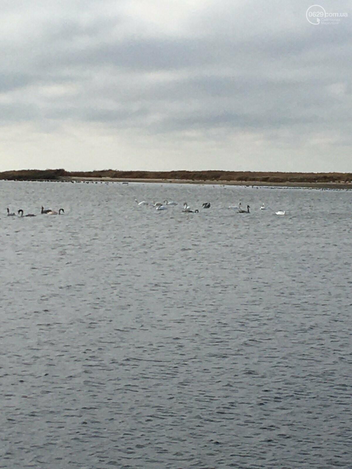 На Левобережном пляже поселилась стая лебедей, - ФОТО, ВИДЕО, фото-1
