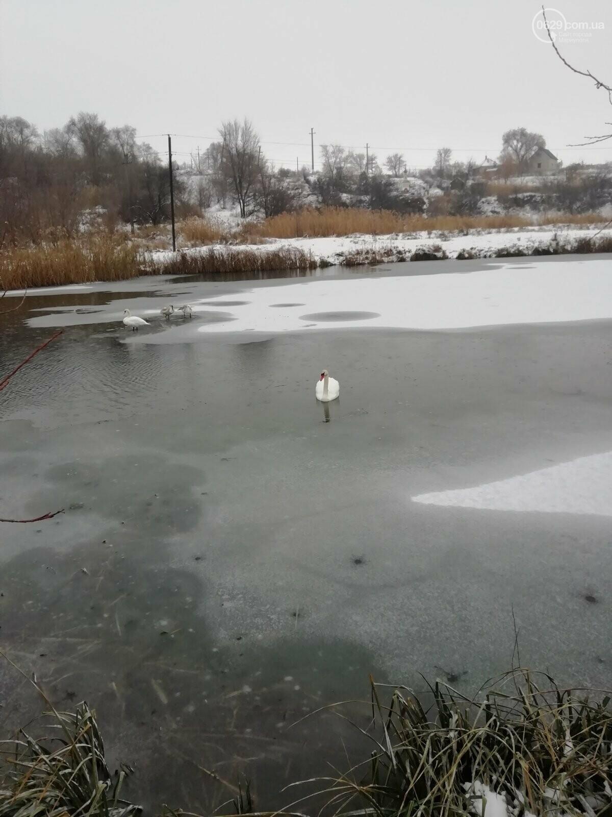 Спасите лебедей! В Мариуполе замерзают дикие птицы, - ФОТО, фото-1