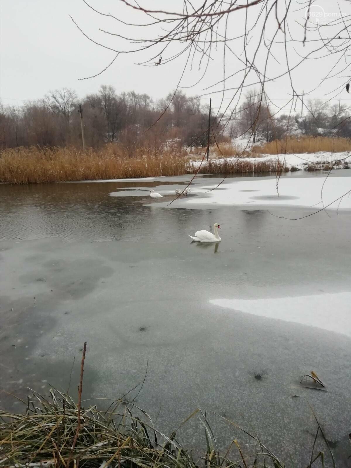 Спасите лебедей! В Мариуполе замерзают дикие птицы, - ФОТО, фото-3