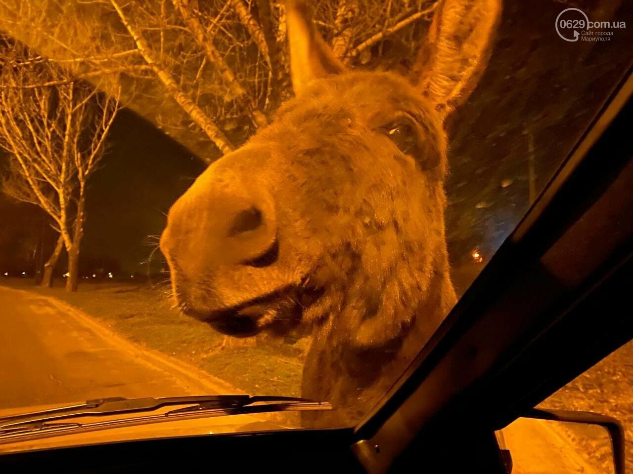 Мариупольских водителей напугали два осла, - ФОТО, фото-1