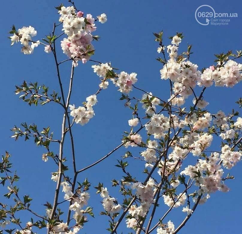 Где весна? Почему в Мариуполе до сих пор не расцвели магнолии, - ФОТО, ВИДЕО, фото-3