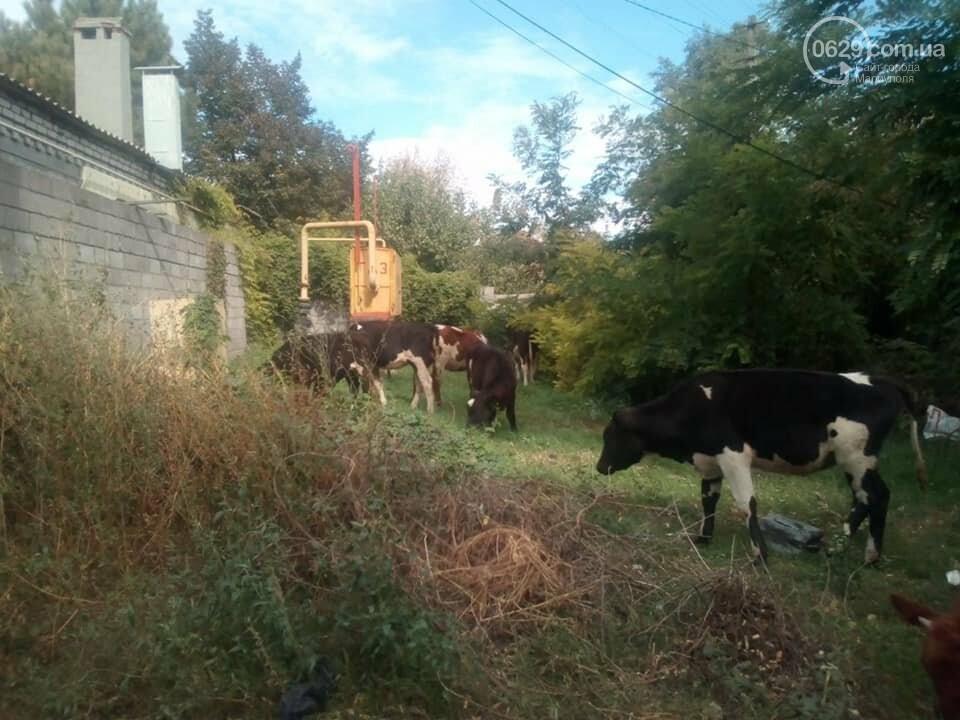 В Мариуполе  по  поселку Песчаный разгуливает 9 бесхозных коров,  - ФОТО, ВИДЕО, фото-1