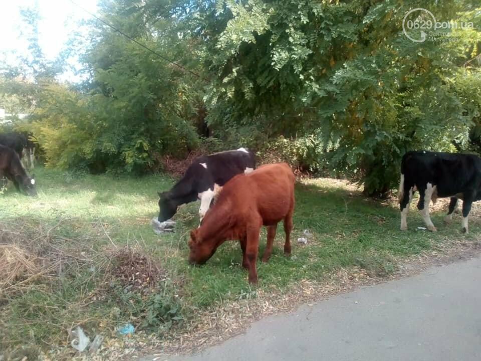 В Мариуполе  по  поселку Песчаный разгуливает 9 бесхозных коров,  - ФОТО, ВИДЕО, фото-2